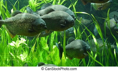 Some of the big fishes on the sea with grasses. The fish are...