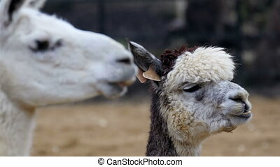 Two white Llamas munching something on their mouth. The...