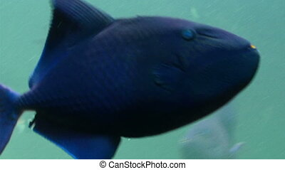 A blue medium sized fish swimming on the water This blue...