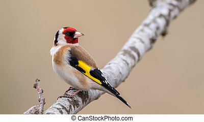Looking behind - European Goldfinch Carduelis carduelis...