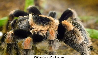An orange and black tarantula on the rock. Tarantulas...