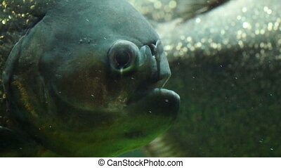 The puffy face of the blue fish with its mouth open and the...