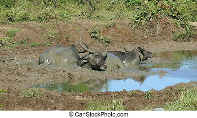 three wild buffalo lying in the mud