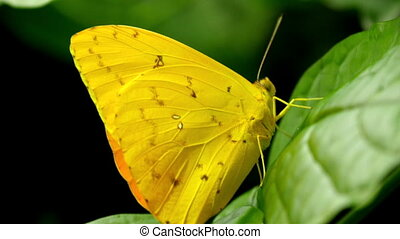 Pretty yellow small butterfly on a leaf