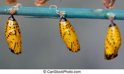 Butterflies in pupal stage where little insects are hanged...