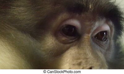 Closer look of the eye of an ape that is munching some foods