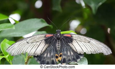 One black small butterfly on a green leaf The butterfly has...