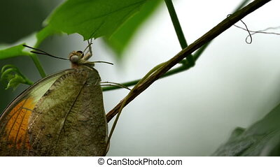 Hanging on a leaf from a twig of a plant is a brown butterfly