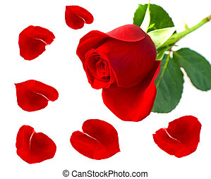 single red rose flower with petals over white background