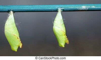 The pupal stage of the butterflies. Seen are green small...