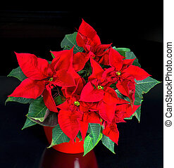 beautiful poinsettia red christmas flower - poinsettia on...
