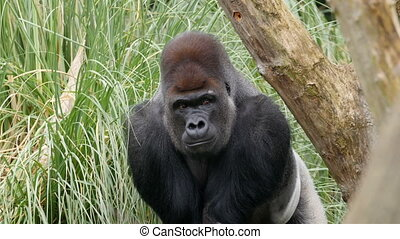 An adult gorilla hiding on the tall grass. The green grass...