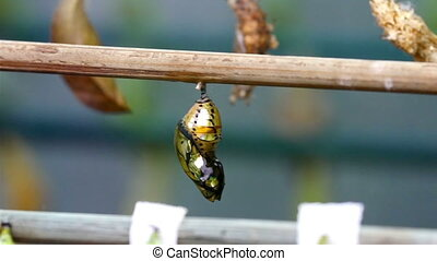 A golden shiny pupa of a butterfly on hanged When the...