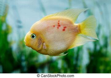 beautiful aquarium fish Amphilophus citrinellusc - mage of a...