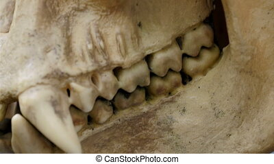 A skull of an ape with its fangs and teeth Showing the head...