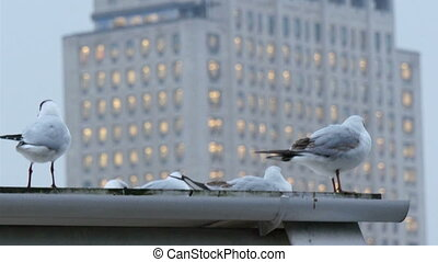 White pigeon birds on the roof of a building. There are four...