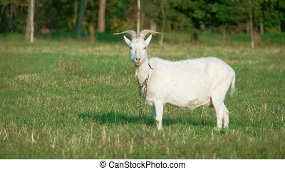 A white domestic goat standing on the farm eating.