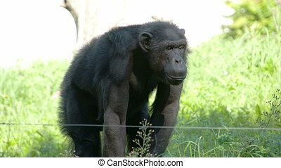A small gorilla ape standing on the grass field. The gorilla...