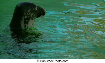 A ringed seal swimming on the water