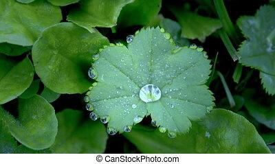 A green Alchemilla vulgaris plant with moisture. Alchemilla...