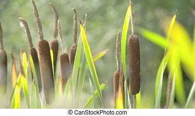 The tall Typha Latifolia grass on the field. Typha latifolia...