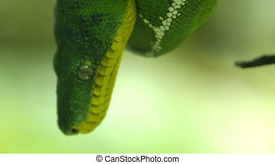 An emerald tree boa snake on a branch of a tree. Corallus...