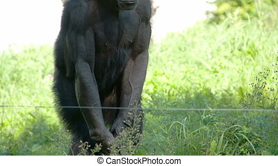 A black ape standing on the grasses. A small kind of a...