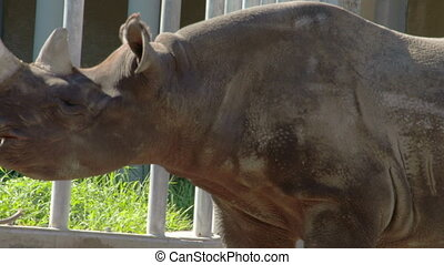 An eating brown rhinoceros is walking on the grass