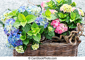 colorful hydrangea bushes. fresh hortensia plants