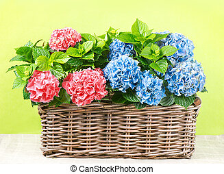 beautiful pink and blue hortensia plants - colorful...
