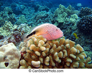 Blackside Hawkfish sitting on Coral - Blackside Hawkfish...