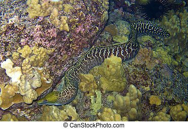 Undulated Moray Eel in Kona Hawaii