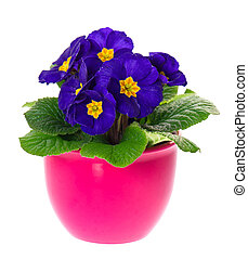 blue primulas in pink pot isolated on white background....