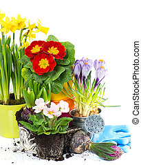 spring flowers hyacinth, narcissus, crocus and primula...