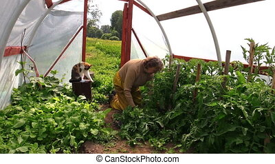 senior woman greenhouse - Old grandma senior woman work on...
