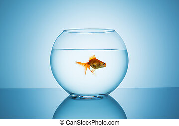 goldfish swims away in a fishbowl - A fishbowl with a...