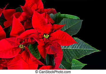 poinsettia red christmas star - beautiful poinsettia on...