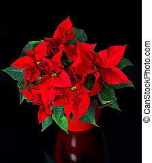 beautiful poinsettia red christmas flower - beautiful...