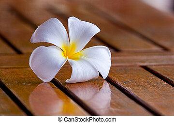 plumeria, fiore