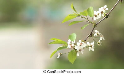 Cherry trees blooming in spring. Nature awakening. Fruit...