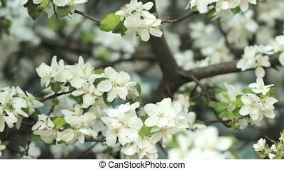 Apple trees blooming in spring Nature awakening Fruit garden...