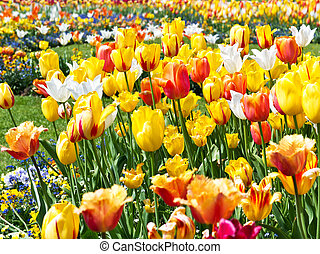 colorful tulip flowers bed