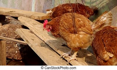 Chicken on a wooden board - Three hens on a wooden board in...