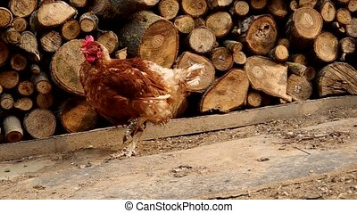 Chicken in the yard of a house and stacked wood