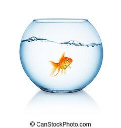 curious looking goldfish ina fishbowl