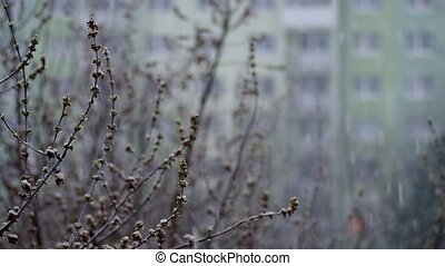 Buds on a tree in spring - Buds on a tree in the spring and...