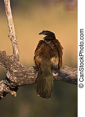 Burchells Coucal on branch