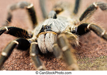 Baboon spider - The baboon spider, Ceratogyrus, is often...