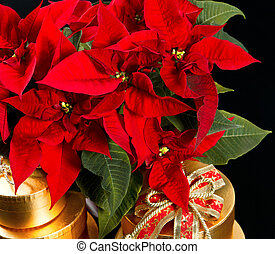 red christmas flower poinsettia with golden gifts on black...