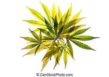 Translucent Leaves - A pile of cannabis leaves on a white...